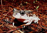 William Burns - Eastern Spadefoot