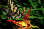 Tiger Lilly Framed Prints - Eastern Tiger Swallow Tail Butterfly Framed Print by Skip Willits