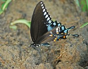 Photogrphy Prints - Eastern Tiger Swallowtail 8533 3212 Print by Michael Peychich