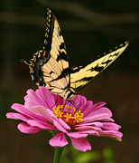 Blooms  Butterflies Framed Prints - Eastern Tiger Swallowtail Butterfly Framed Print by Kathy Clark