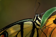 Coiled Prints - Eastern Tiger Swallowtail Butterfly Print by  Onyonet  Photo Studios