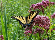 Neal Eslinger Posters - Eastern Tiger Swallowtail on Joe Pye Weed Poster by Neal  Eslinger
