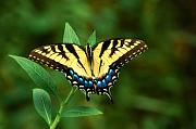 Insect Framed Prints - Eastern Tiger Swallowtail Framed Print by Rich Leighton