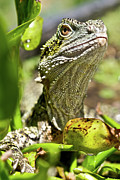Water Dragon Prints - Eastern Water Dragon Sitting In Swamp Print by Brooke Whatnall