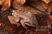 Hibernation Posters - Eastern Wood Frog Hibernating Poster by Ted Kinsman