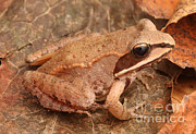 Fauna Metal Prints - Eastern Wood Frog Metal Print by Ted Kinsman