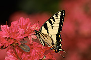 Flutter Art - Eastern Yellow Tiger Swallowtail And Azaleas by Lara Ellis
