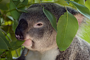 Koala Metal Prints - Eat your Greens Metal Print by Mike  Dawson