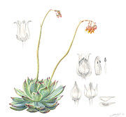 Wildlife Drawings - Echeveria spp. by Logan Parsons