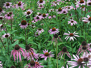 Purple Flowers Photos - Echinacea 03 by Howard Charing