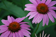 First Star Art Photos - Echinacea Cone Flowers by First Star Art