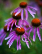 Purple Garden Posters - Echinacea Crowd Poster by Mike Reid