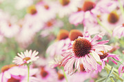 "Gelderland Prints - Echinacea In Sunlight, Close Up Print by ""Leentje photography"" by Helaine Weide"
