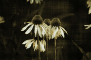 Terrie Taylor - Echinacea