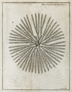 Echinoderm Photos - Echinoderm, 18th Century by Middle Temple Library