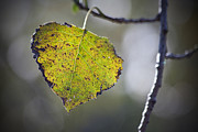 Autumn Leaf Photos - Edge of Change by Karol  Livote