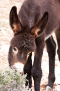 Donkey Foal Prints - Edibles Print by James Marvin Phelps