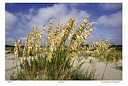 Bruce Flashnick - Edisto Sea Oats