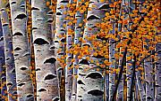 Birch Trees Paintings - Effulgent October by Johnathan Harris