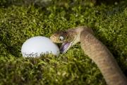 Hunger Prints - Egg Eating Snake and Egg Print by Mike Raabe