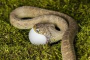 Hunger Posters - Egg Eating Snake II Poster by Mike Raabe