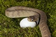 Hunger Prints - Egg Eating Snake Swallowing Egg Print by Mike Raabe
