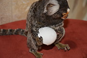 Barry R Jones Jr Digital Art Posters - Eggs  Chewy The Marmoset Poster by Barry R Jones Jr