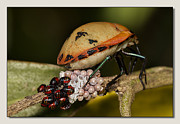 Stink Bug Digital Art - Eggs Hatched 02 by Kevin Chippindall