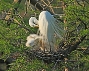 Bird Rookery Swamp Posters - Egret - Mother and Baby Egrets Poster by Luana K Perez