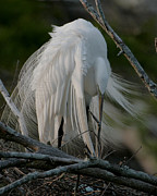 Bird Rookery Swamp Prints - Egret - Mother and Eggs  Print by Luana K Perez