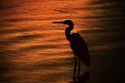 Wildlife Sunset Posters - Egret at Dusk Poster by Karol  Livote
