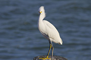 Bridget Finn - Egret at Johns Pass 2