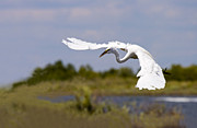Crane Prints - Egret Ballet Print by Mike  Dawson