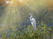 Tom Biegalski Art - Egret basking in the sun by Tom Biegalski
