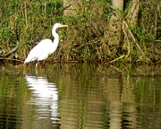 Don L Williams - Egret