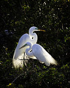 Great Egret Framed Prints - Egret Ecstasy  Framed Print by Rob Travis