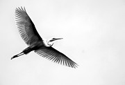 Types Of Birds Prints - Egret Elegance Print by Skip Willits