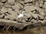 Great Birds Posters - Egret Fishing Poster by Al Powell Photography USA