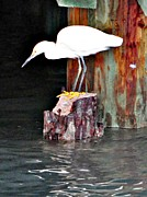 John Collins Posters - Egret fishing Poster by John Collins
