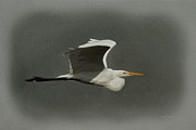 Great Birds Posters - Egret Fly By Poster by Ernie Echols