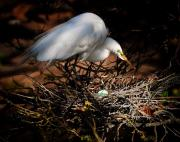 Egg Originals - Egret Guarding Egg by JP Brandano Photography