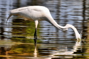Egret Photo Prints - Egret Hungry Print by Emily Stauring