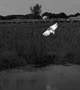 Shaileen Landsberg - Egret in Flight