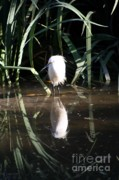 Refection Posters - Egret in Reed Poster by Balanced Art