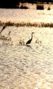 Diane Merkle - Egret in Sunset Water