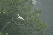 Monsoons Metal Prints - Egret In The Monsoons Metal Print by Bob Christopher