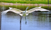 Egret Photo Prints - Egret Landing Print by Emily Stauring