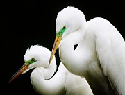 Egret Mates Print by Thomas Photography