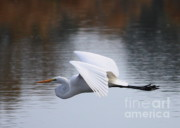 Lovely Pond Prints - Egret over Winter Pond Print by Carol Groenen