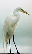Sheila Price - Egret Pose II  SAP